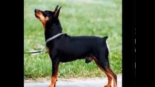 Como Cuidar Un Pinscher Miniatura Macho - El Encantador De Perros