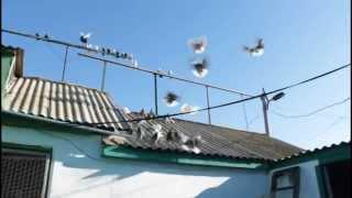 Серпастые голуби, Крым, с Партизаны,Бобовкин 2015(, 2015-02-01T12:58:11.000Z)
