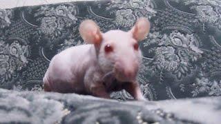 Домашние крысы - крыса сфинкс и крыса капюшон
