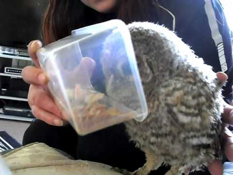 baby owl in my house eating meal worms