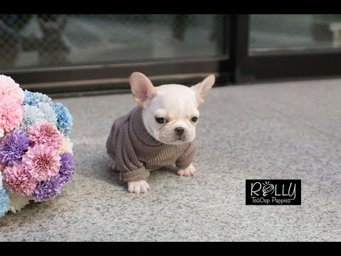 Amazing Female Teacup Frenchie LadyBug - Rolly Teacup Puppies