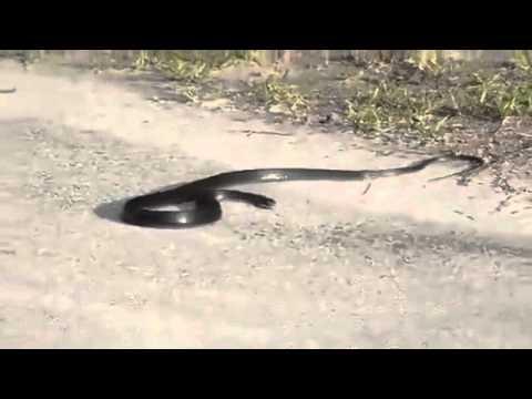 fourmis contre serpent