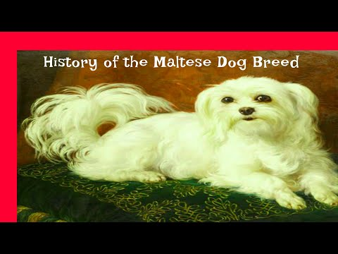 History of the Maltese Dog Breed