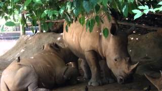 nursing/feeding/suckling of baby white rhino Singapore Zoo pt 1