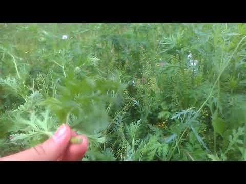 Gelincik çiçeği otunun faydaları çayının yararları nelerdir gelincik çiçeği otunun hikâyesi nedir