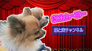 【ポメラニアン 子犬】龍と寅の紹介ムービーです♪ とても可愛くてとても...