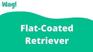 FlatCoated Retriever   Wag!
