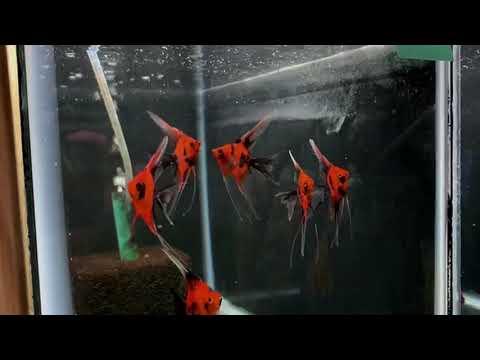 Select Koi Angelfish Group #116