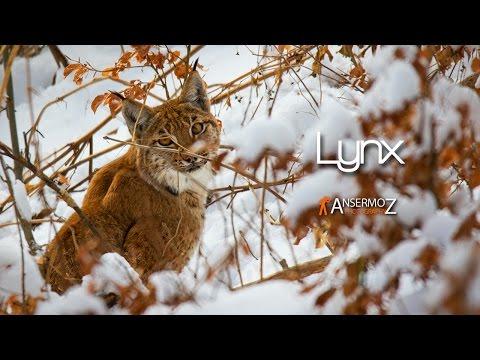 Rencontre Lynx Suisse - Encountering Eurasian Lynx Switzerland
