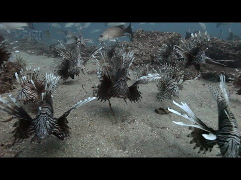 Video Of Possibly The Most Infested Invasive Lionfish Region