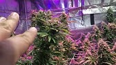 24 hours of dark before you harvest your cannabis  - YouTube