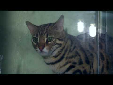 Кот Гуся, кот Куни, громадная кобра, черная мамба и закадровый голос