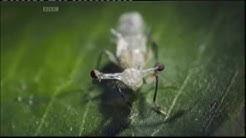Stalk Eye Fly.