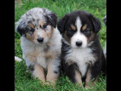 Cute Australian Shepherd Puppies Video Compilation Youtube