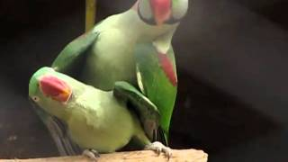 Throes of Passion - Mating Alexandrine Parakeets @ Nehru Zoological Park - Hyderabad