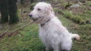 Cute Dog Videos For Children And Lucky People. Golden Retriever Poodle Mix 44 2015 Rep1