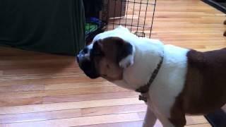 English Bulldog Watching Tv