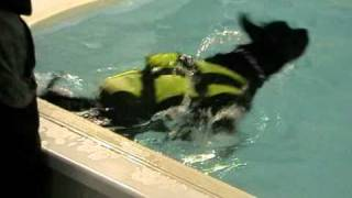 Bruno (10 Months Old) In Hydrotherapy  Pool ,he Has Ocd Of The Hock Joint