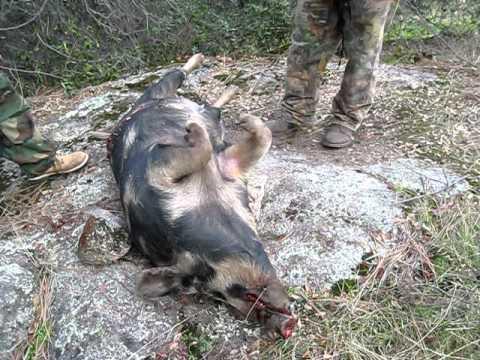 Fresno california wild pig #1