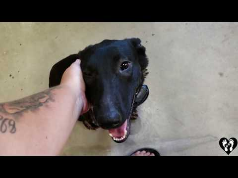 8 month old German Shepherd/Belgian Malinois mix Nina | Houston dog training