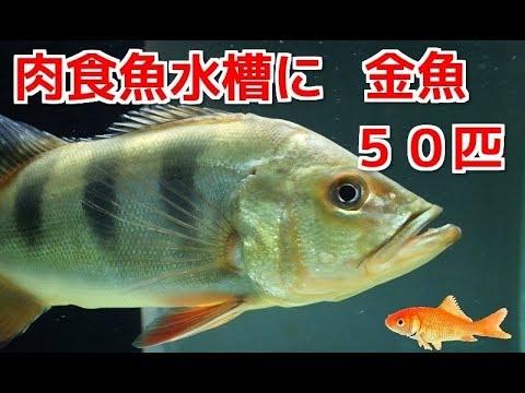 肉食魚水槽に金魚50匹を投入