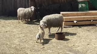 Любовь собаки и овцы