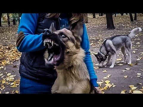 НАПАДЕНИЕ БЕШЕНОЙ ОВЧАРКИ/ rabid dog attacks