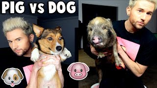 PIG vs DOG: Who is Smarter? thumbnail