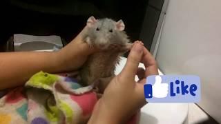 Rato tomando banho contra parasitas (ácaro, piolho, pulga, carrapato)