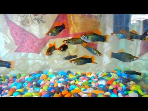Black Swordtail Vey Rare Type Of Fish