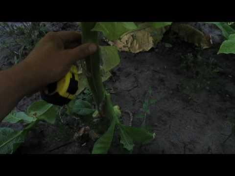 Обзор сорта Спектр  - купить семена табака