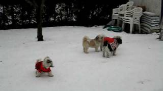 Shih Tzu Dogs With Clothes Playing On The Snow