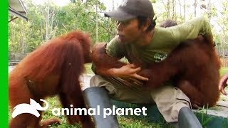 Chen Chen Plays With Babies After Receiving A Head Injury | Orangutan Island
