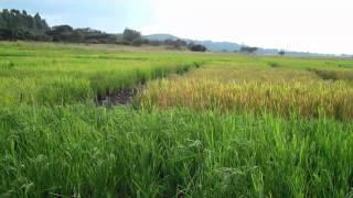 Rice: Ethiopia's Millennium Crop