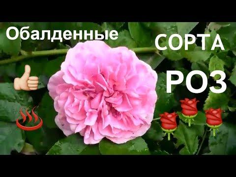 ОБАЛДЕННЫЕ сорта роз/мой розарий