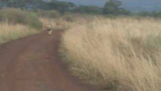 Lion and Lioness in Nairobi National Park - Safari Kenya Sikh Singh