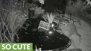 Adorably destructive raccoons play in backyard pond