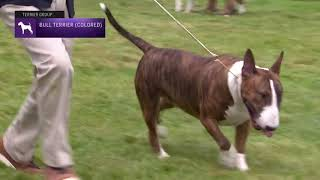 Bull Terriers (Colored)   Breed Judging 2021