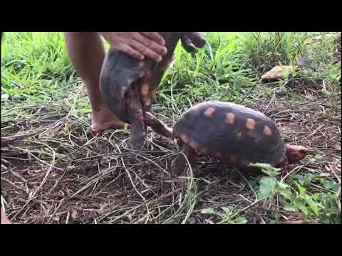 у черепахи член больше человеческого