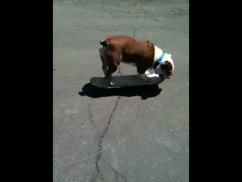 English bulldog skates