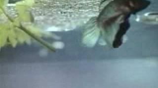 Рыбы-петушки.avi