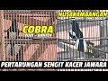 Pertarungan Sengit Kacer Jawara Cobra Vs Nusakambangan Nk  Mp3 - Mp4 Download