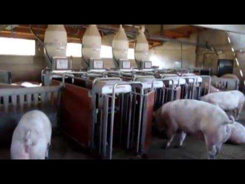 全自动饲料供应器专为群养的孕期母猪设计制造