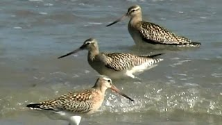 Aguja colipinta (Limosa lapponica, Bar-tailed Godwit)