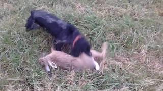 Охота на зайца с русским охотничим спаниелем!!!Стелла -Арктика давит зайца!