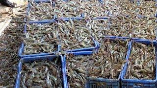 Shrimp catching videos | Shrimp ponds | Shrimp harvesting and catching