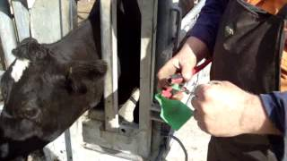 Tag remover used on cow 002