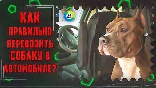 ТВ МИР-Как правильно перевозить собаку в автомобиле