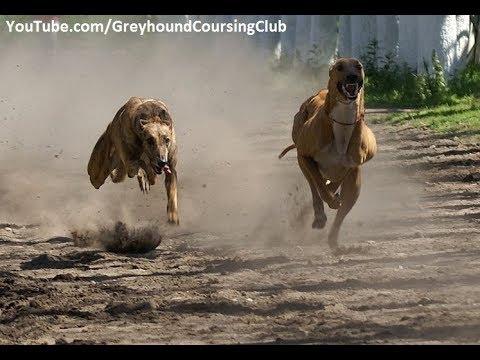 Dhok Gad race #1 | Greyhound race 2017 | racing greyhounds