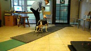 Therapeutic Exercises For Dogs - Beagle - Lucy